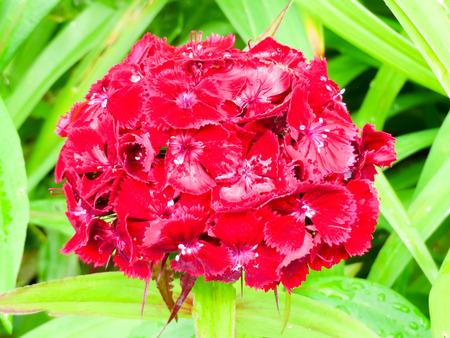 william: Red Sweet William