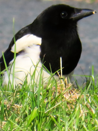 magpie: Magpie In The Grass Stock Photo