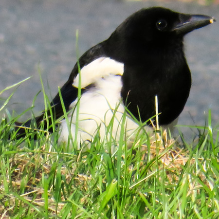 Magpie In The Grass Stock Photo