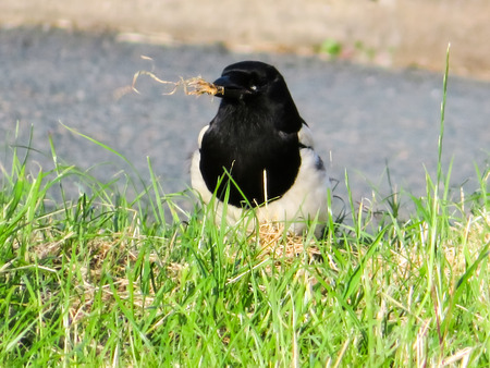 Magpie With Grass In Beak Stock Photo