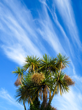 Torbay Palms Against Cirrus Sky