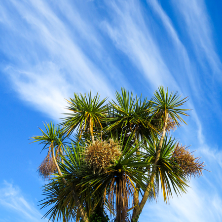 weather front: Torbay Palms Against Cirrus Sky