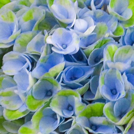 Blue And Green Hydrangea Flowers Stock Photo