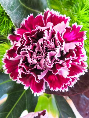 frilly: Purple Carnation