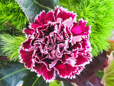 frilly: Purple And White Carnation Stock Photo