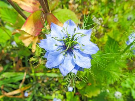 cornflower: Blue Cornflower