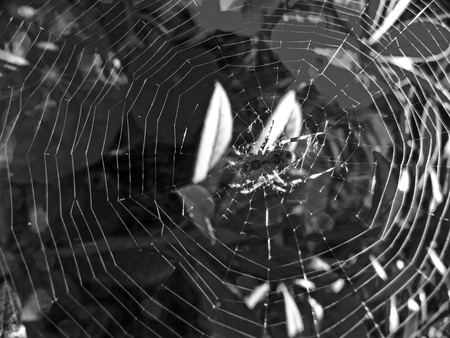 pedicel: Spider On Web Stock Photo