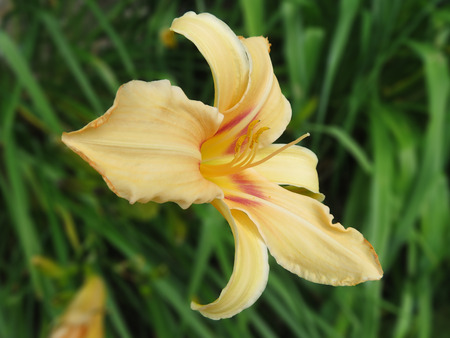 flecks: Peach Lily With Yellow Stamen And Flame Flecks