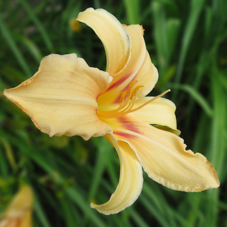 Peach Lily With Yellow Stamen And Flame Flecks