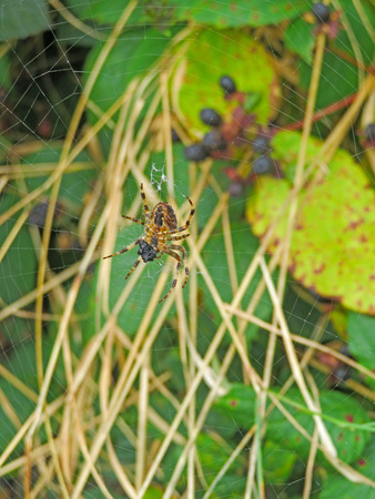 araneidae: Spider On Web With Prey