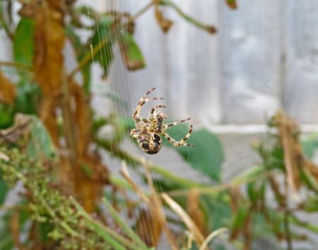 araneidae: Spider Spinning Its Web