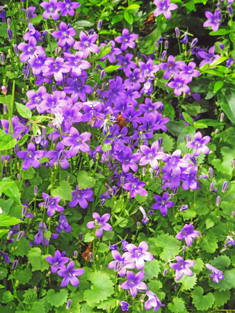 Blue Campanula Flowers Stock Photo