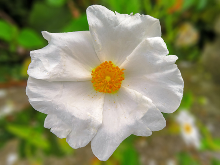 White Garden Rose Imagens - 77369454