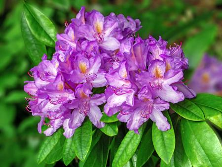 ericaceae: Purple Rhododendron
