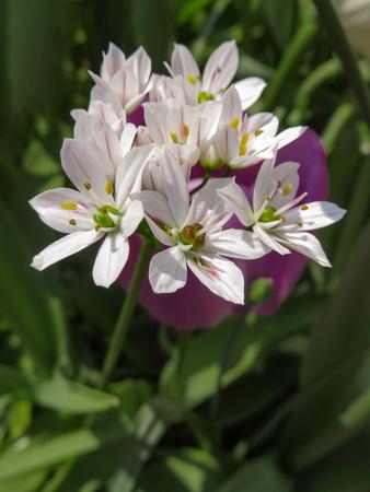 White Allium Roseum Imagens - 78049442
