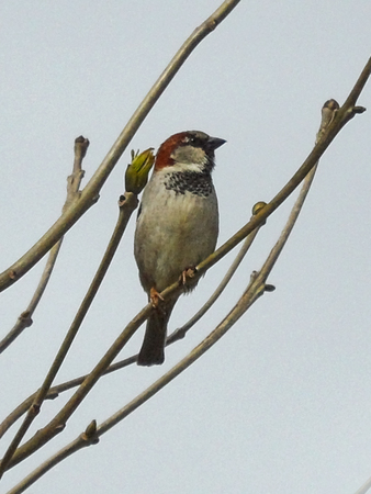 Male Sparrow On Branch Stock Photo