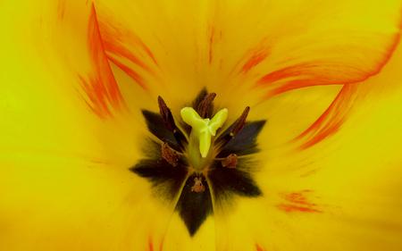 Yellow Tulip Centre Фото со стока - 82679755