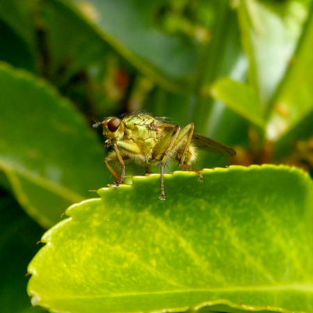 Brown-Eyed Fly On Leaf