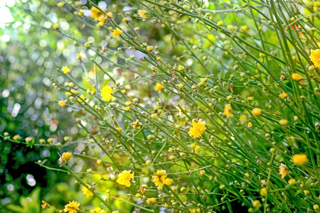 Coreopsis Sunray Yellow Stems And Buds