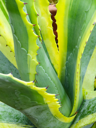 Green And Yellow Aloe Vera