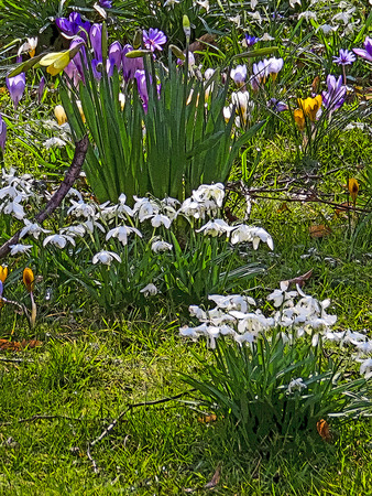 Crocus, Snowdrops Daffodils In Meadow Stock Photo