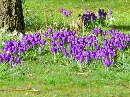 Purple Crocus Under Tree