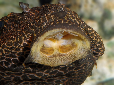 Golden Mouthed Fish