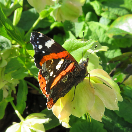 Red Admiral Butterfly  Sunbathing