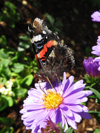 Red Admiral Butterfly  Closed Wings