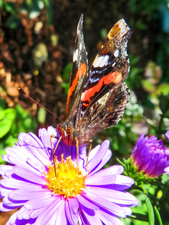 Red Admiral Butterfly  Drinking Nectar