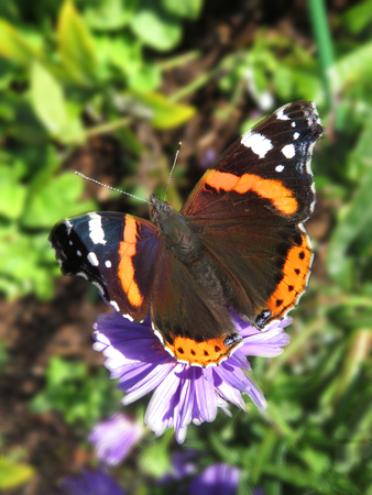 Red Admiral Butterfly Open Winged