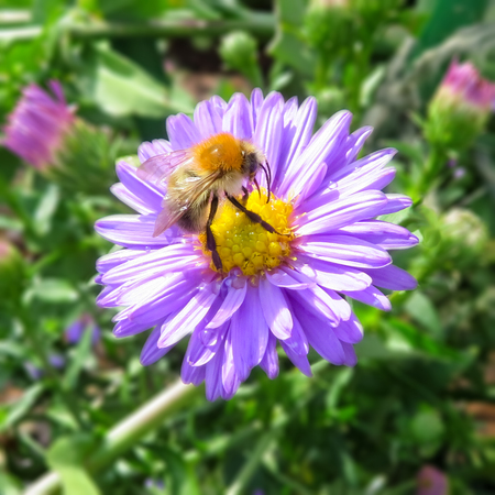 Bumble Bee On Michaelmas Daisy Flower