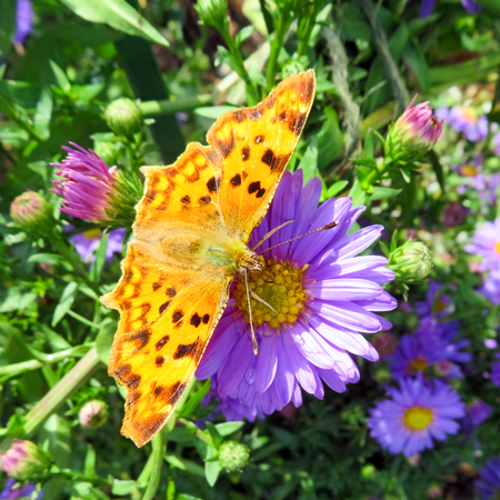 Comma Butterfly On Flower With Open Wings