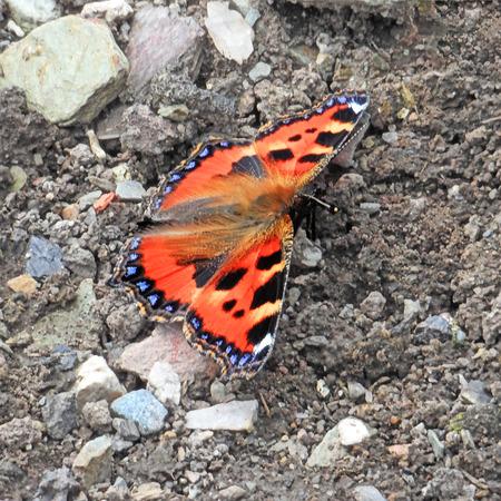 Small Tortoiseshell Butterfly