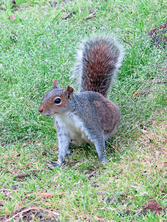 Grey Squirrel On Grass