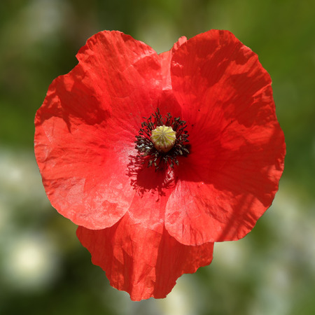 Heart Shaped Red Poppy