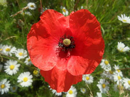 Red Poppy In Field of Daisies