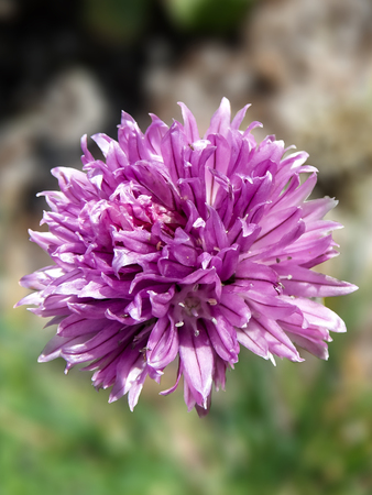 Purple Calendula Stock Photo
