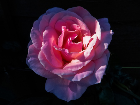 Pink Compassion Rose