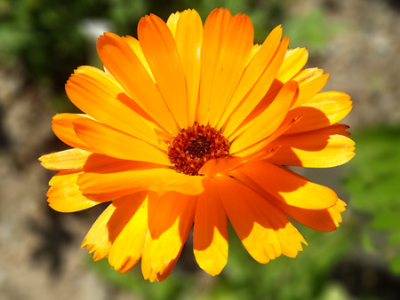 Orange Calendula In A Garden
