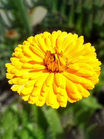 Yellow Calendula In A Garden Stock Photo