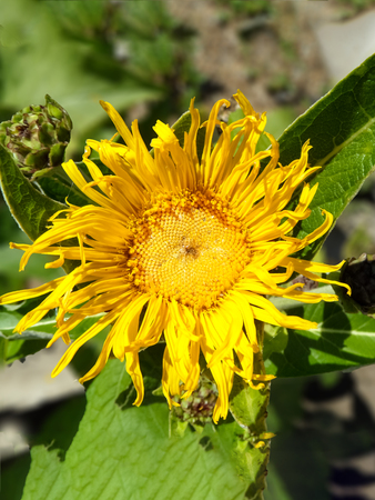 Yellow Sunflower With Petals In Garden