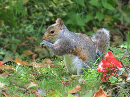 Grey Squirrel Eating On Grass