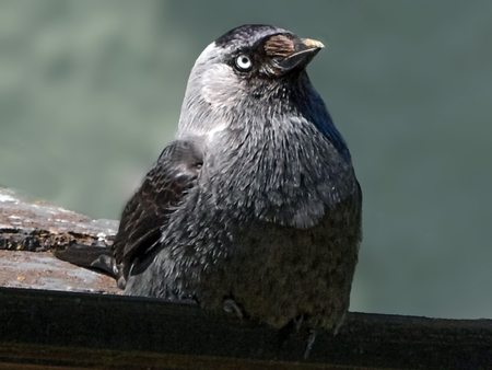 Jackdaw Bird Sitting On Roof