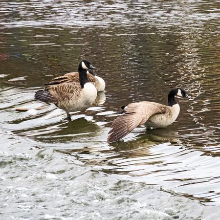 Geese Bathing In Weir