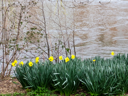 Daffodils By The River Bank Imagens