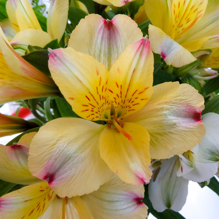 Alstroemeria Yellow Flower Stock Photo