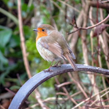 Garden Robin Redbreast