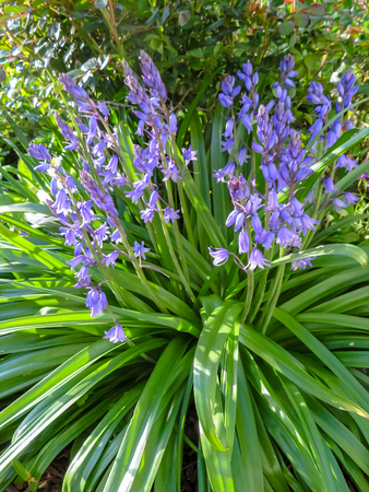 Bluebells In Shade