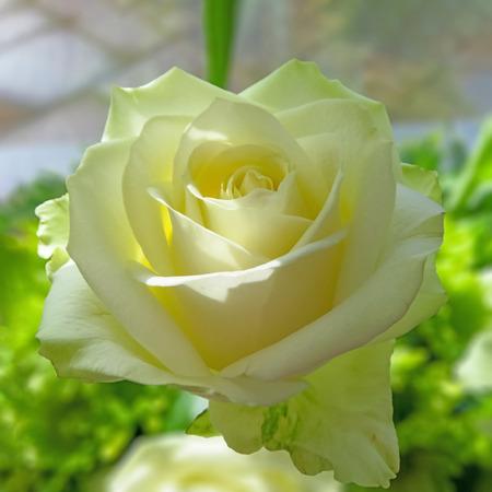 White Avalanche Rose Stock Photo